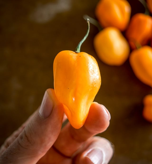 Habanero chili pepper closeup