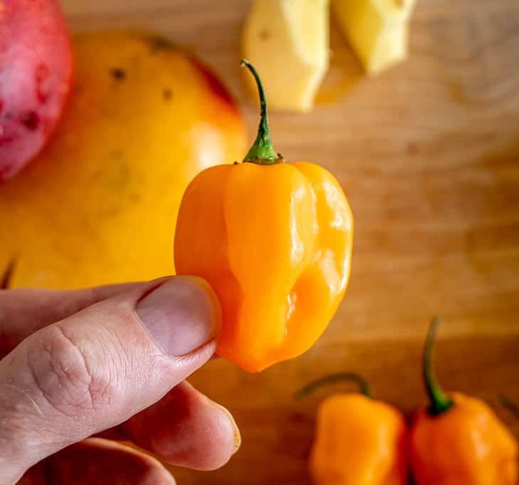 Single habanero pepper